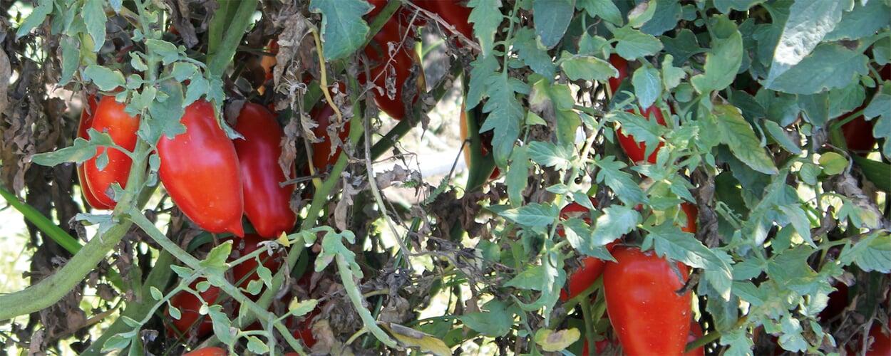 Tomatenprodukte