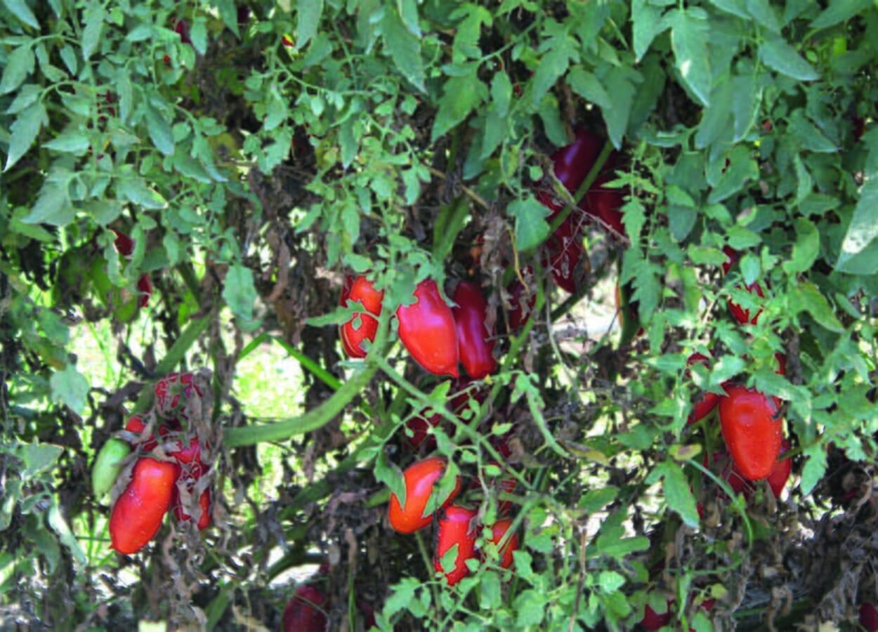 G. Napoletano. San-Marzano-Tomaten