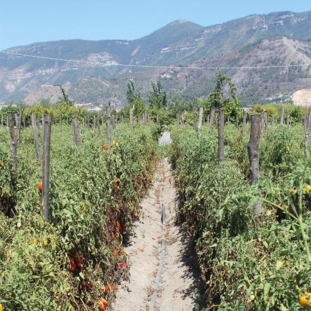 Parzellierung der Tomatenfelder