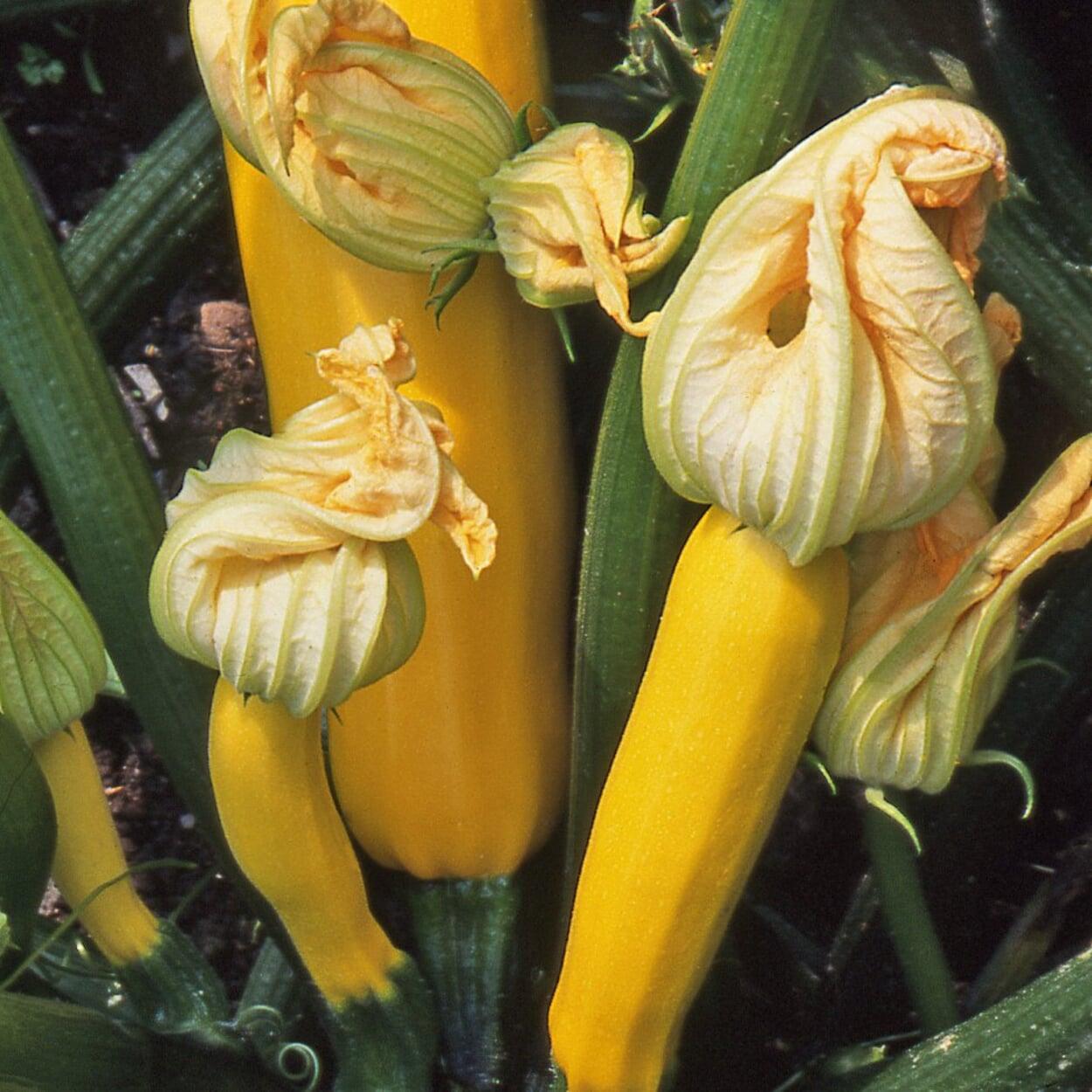 Gemüsesamen Dekorative Gemüsen