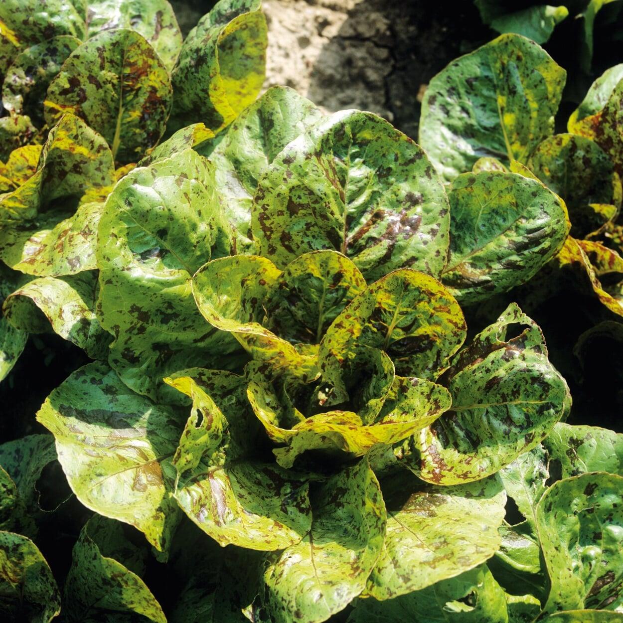 Gemüsegarten Juni