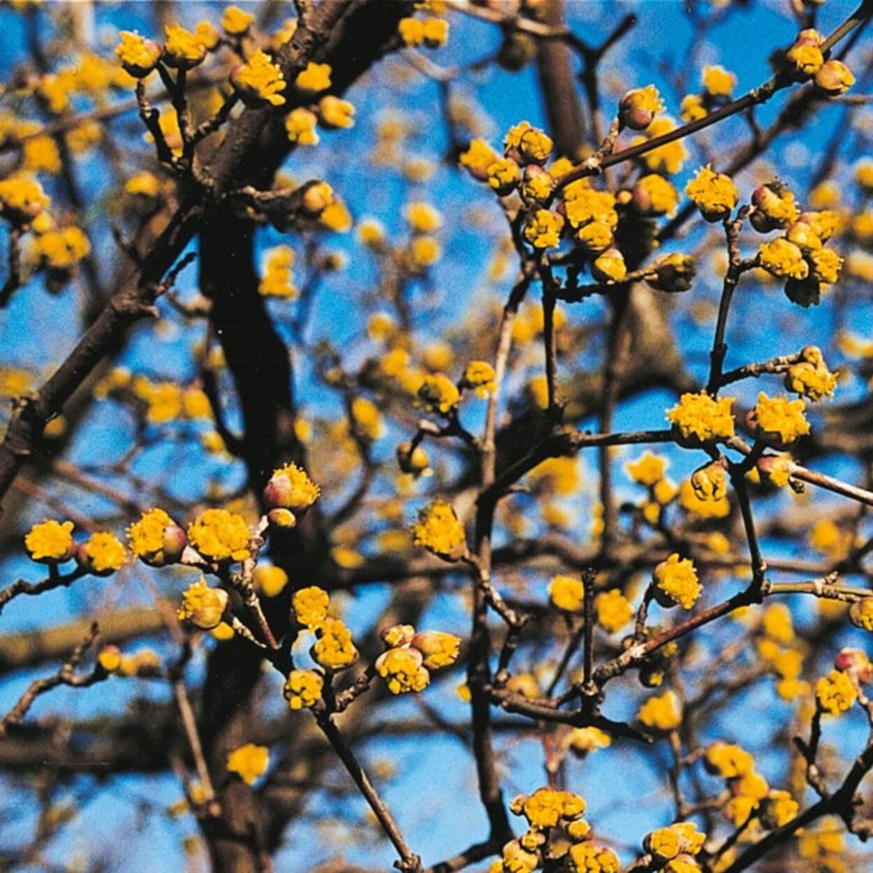 Zweige mit möglichst vielen Knospen wählen