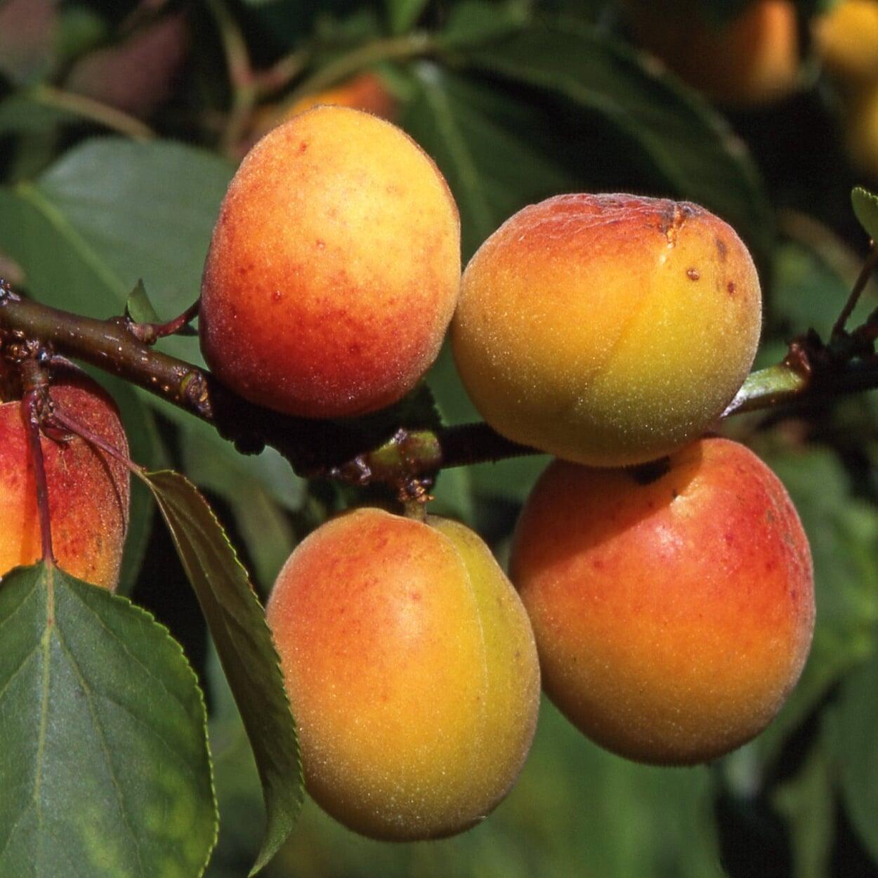 Heilpflanze Aprikose