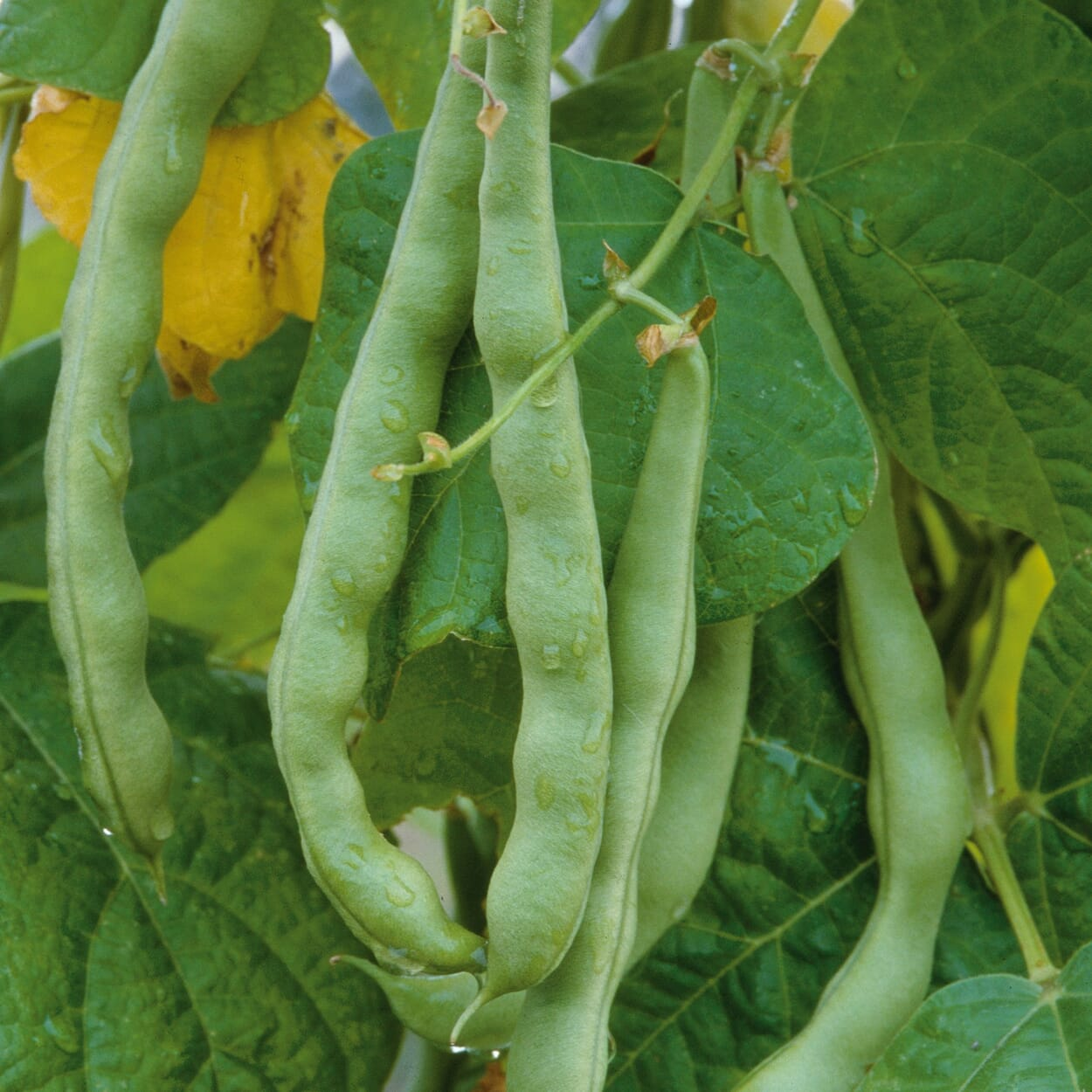 Perlbohne 'Zuckerperl Perfektion' (Phaseolus vulgaris var. nanus)