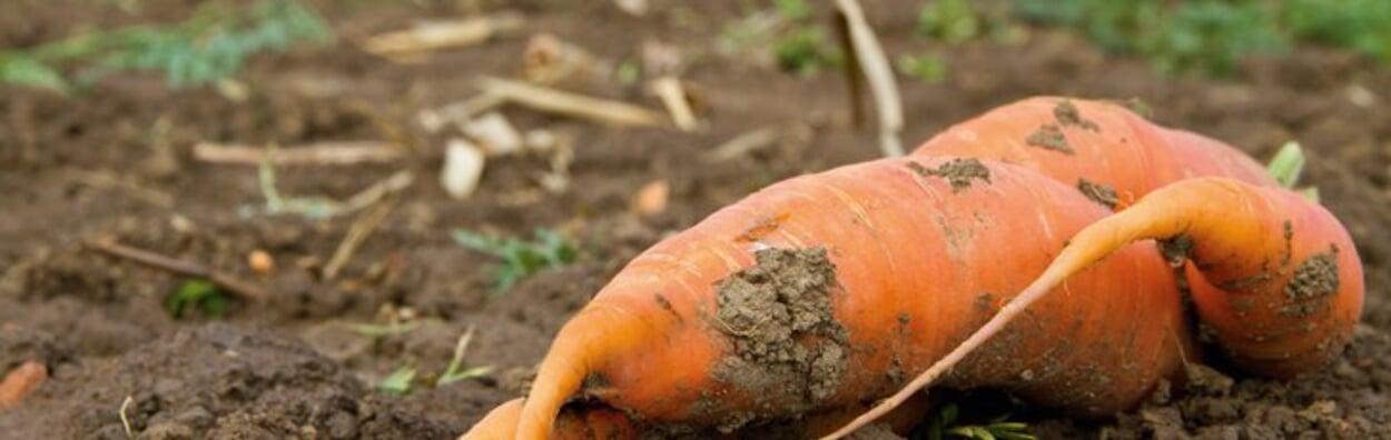 Abgeerntete Gemüsebeete für den Winter bearbeiten