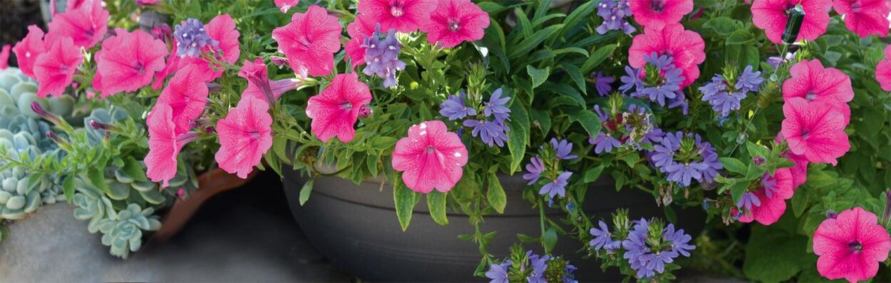 Balkonpflanzen ausputzen, wässern und düngen
