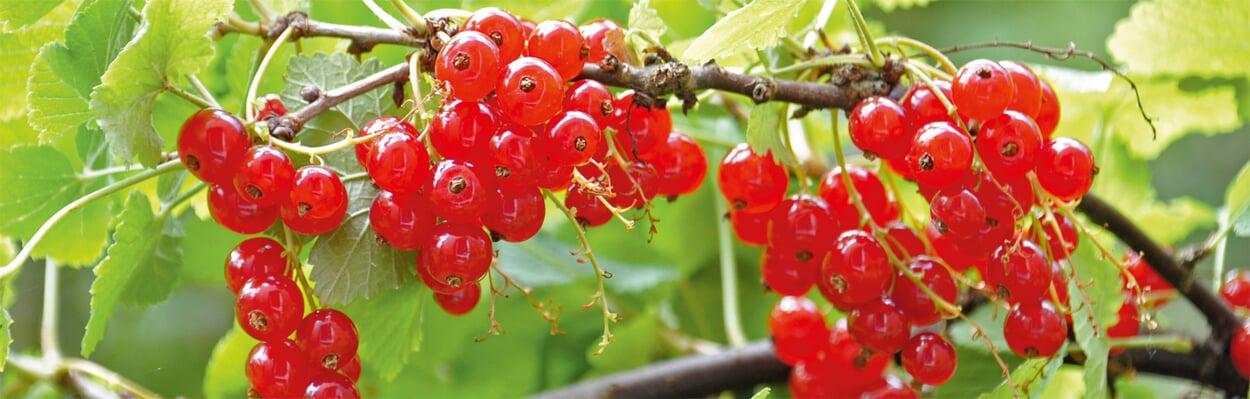 Beerensträucher auslichten