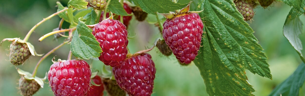 Beerensträucher pflanzen