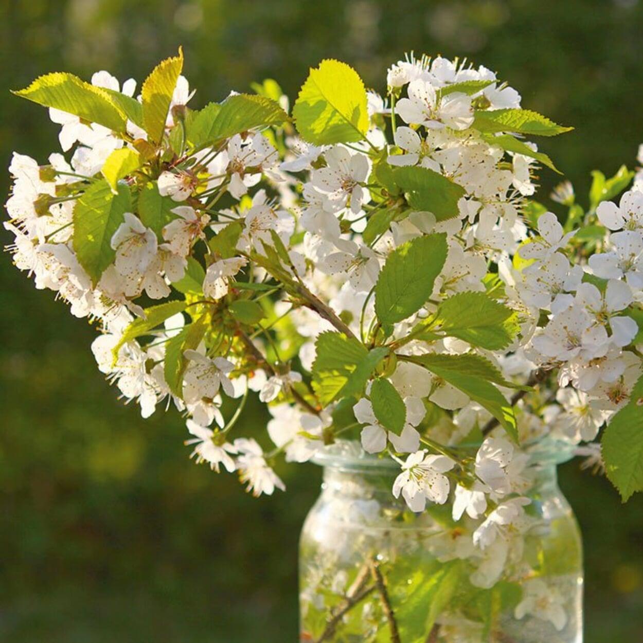 Blühende Kirschbaumzweige