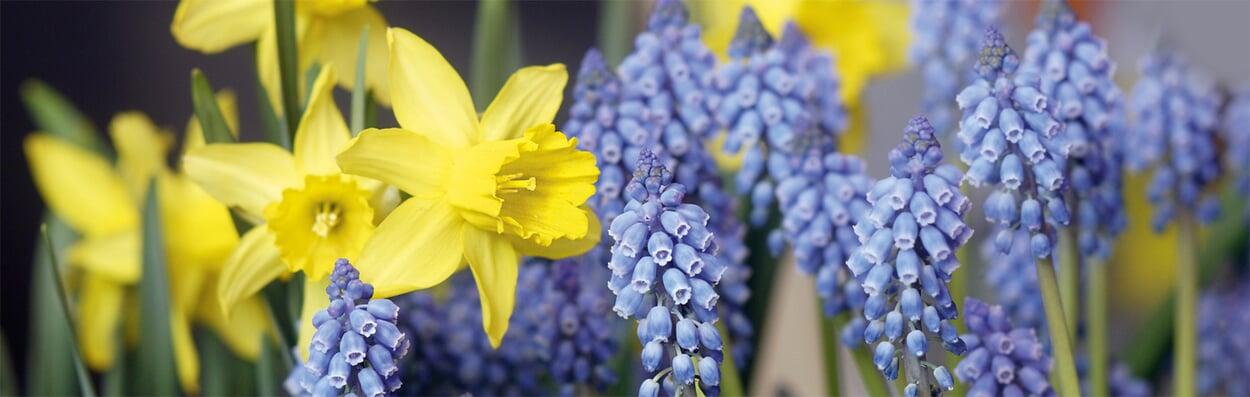 Blumenzwiebeln in Gefäße pflanzen