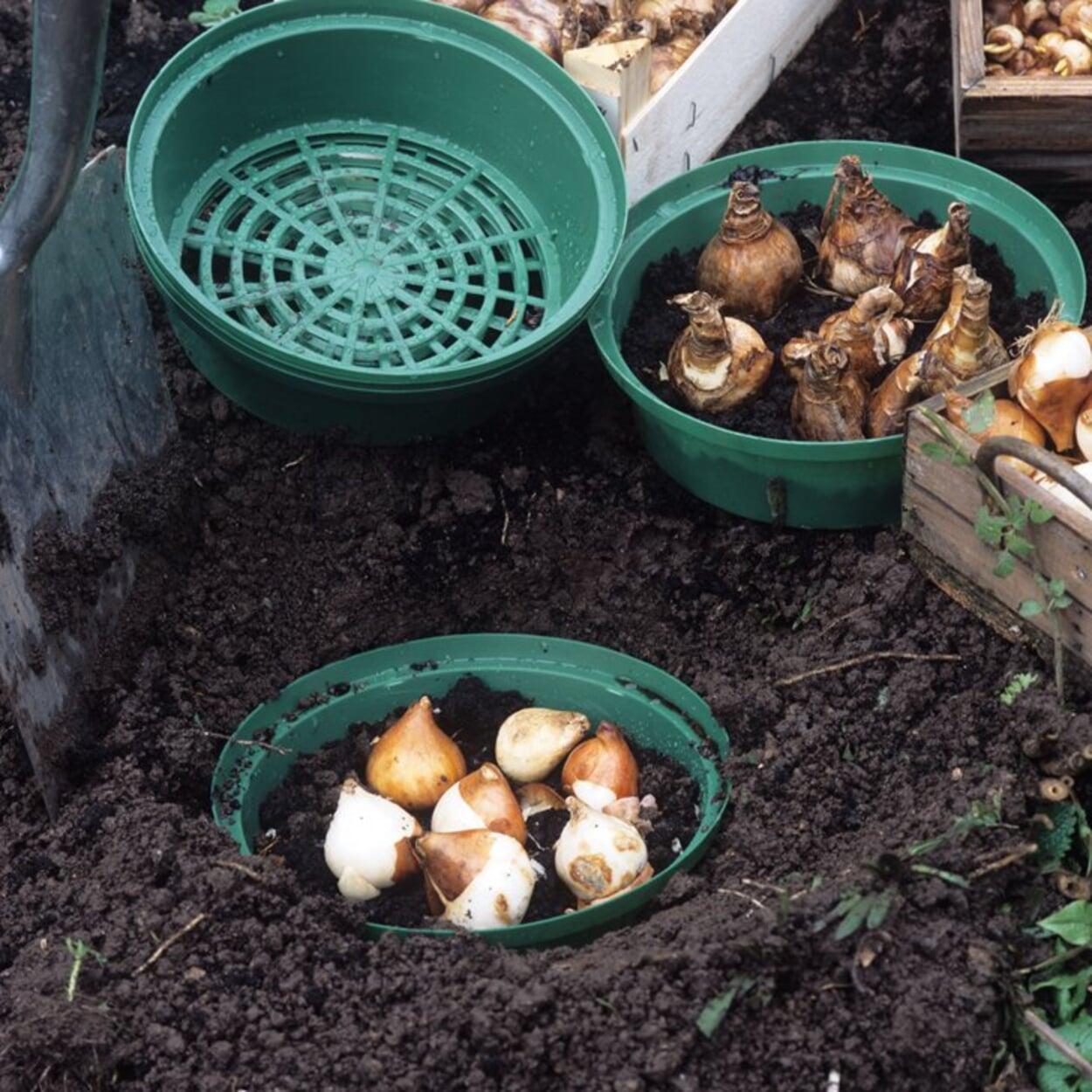 Zwiebeln zum Schutz vor Wühlmausfraß in Körbe setzen