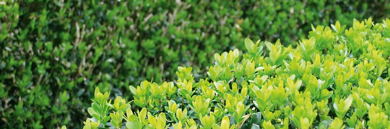 Buchsbaum in Form schneiden