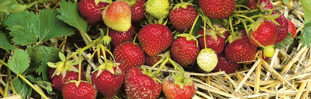 Erdbeeren zum Ende der Erntezeit düngen
