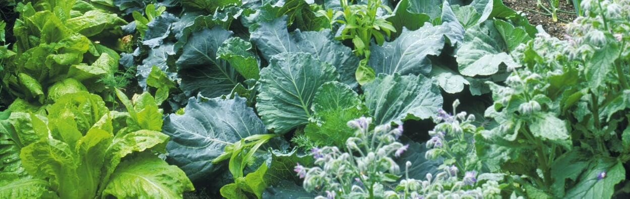 Gemüse für die zweite Saisonhälfte säen und pflanzen