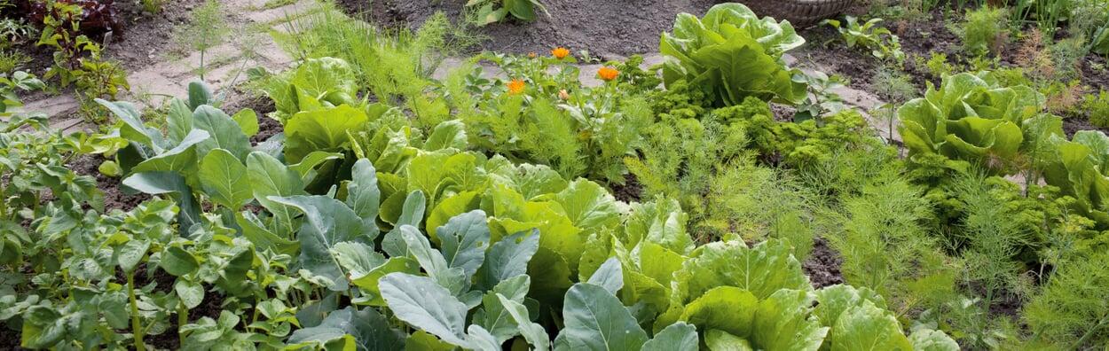 Gemüse in Mischkultur anbauen