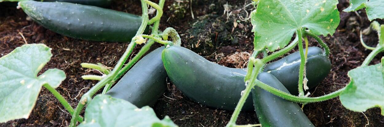 Gemüsebeet bestellen im Sommer