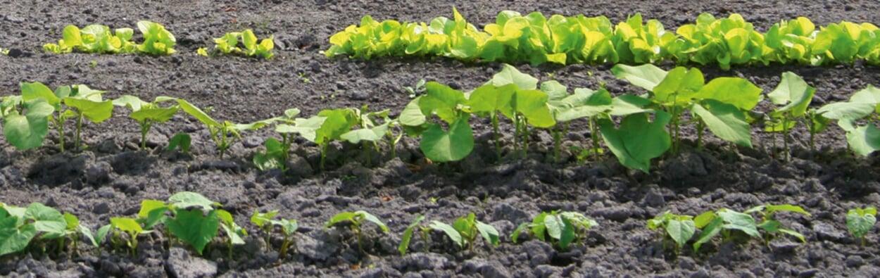 Gemüse ins Freiland säen und pflanzen