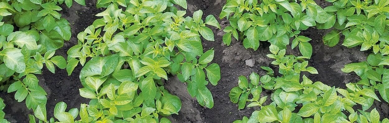 Kartoffeln anhäufeln oder mulchen