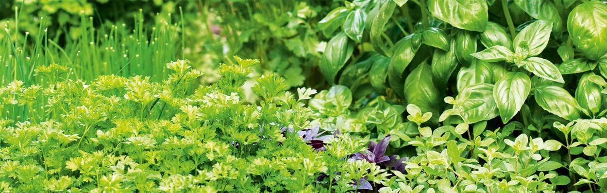 Kräuter zurückschneiden, pflanzen oder säen
