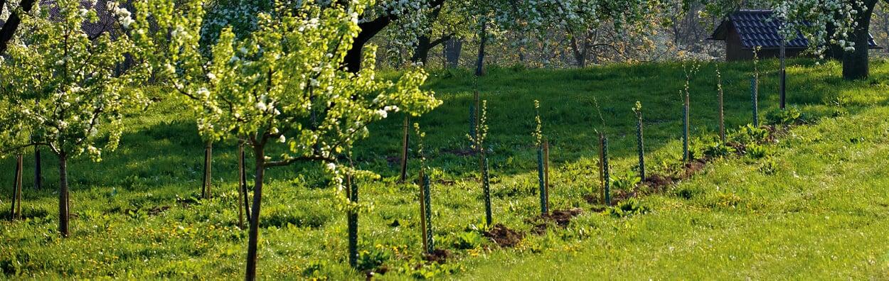 Wurzelnackte Obstbäume pflanzen