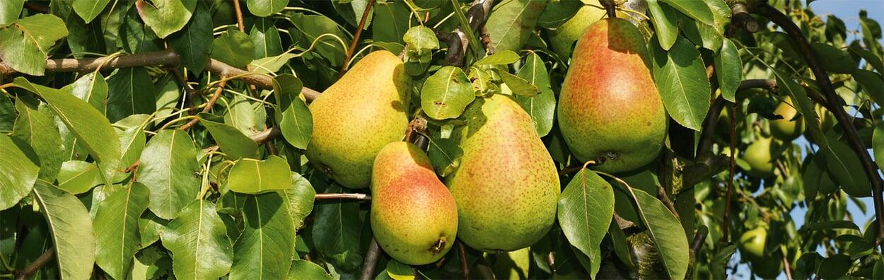 Obstbäume und Beerensträucher auf Krankheiten kontrollieren