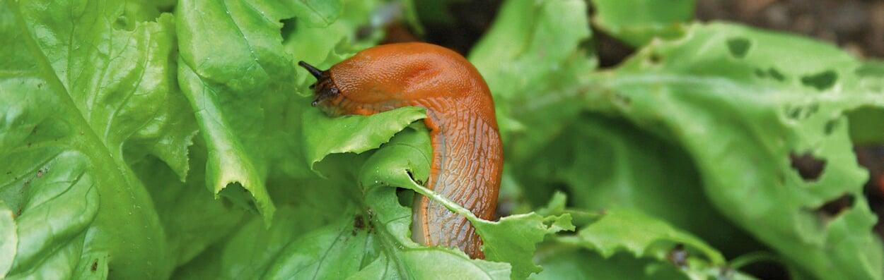 Pflanzen vor Schnecken schützen