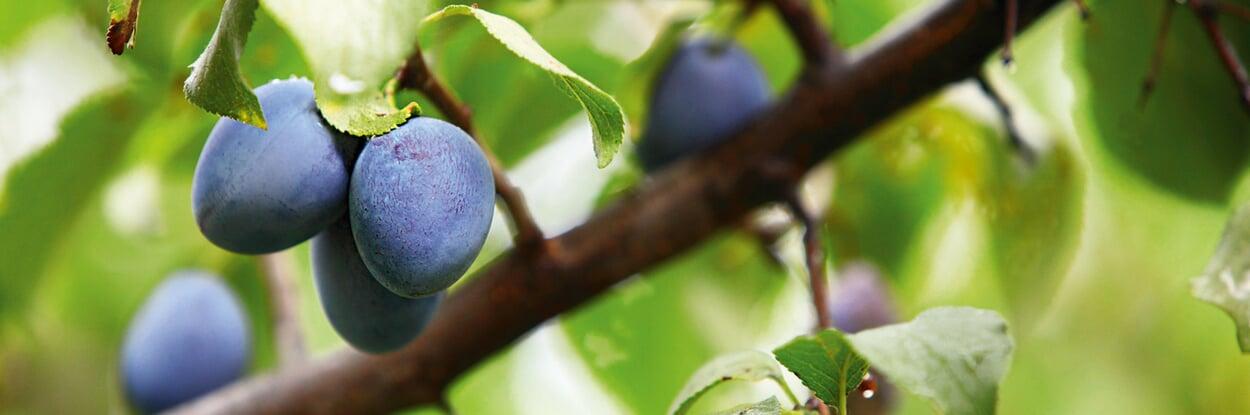 Pflaumen, Sommerbirnen und erste Äpfel ernten