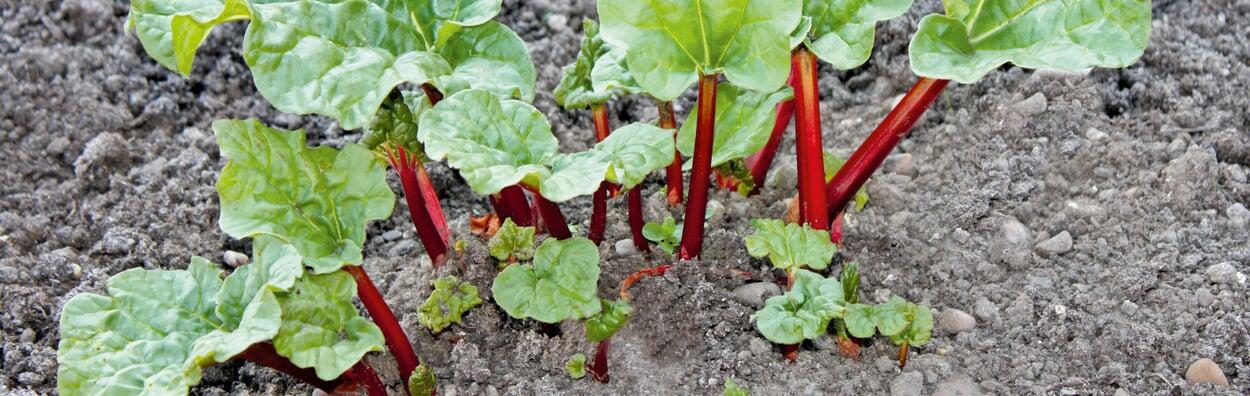 Rhabarber pflanzen und teilen