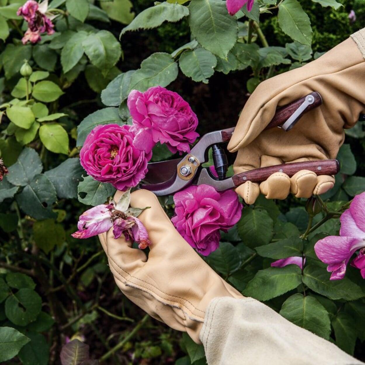 Verblühtes bei Rosen herausschneiden