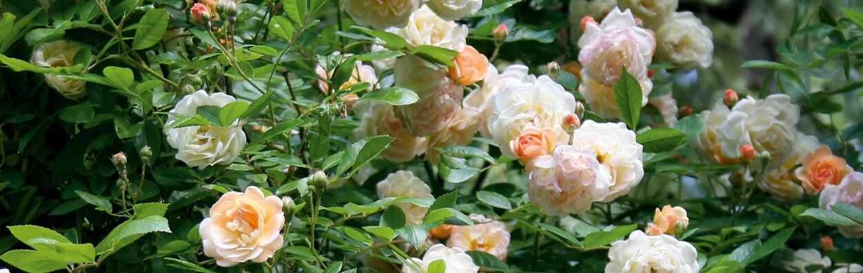 Nach der Hauptblüte Rosen düngen