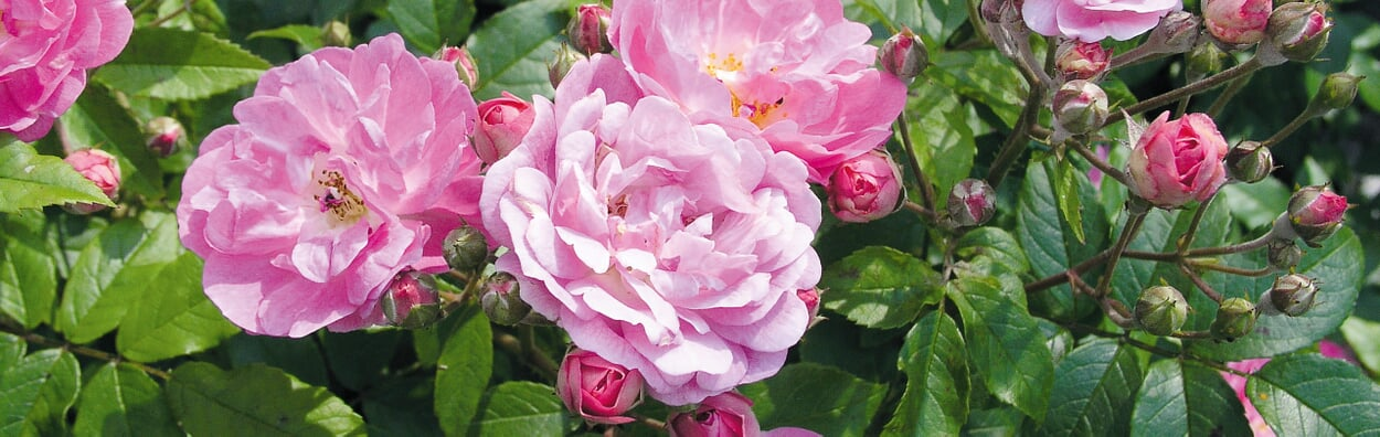 Rosen in Gefäße pflanzen