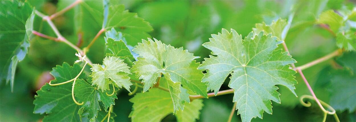 Rückschnitt bei Weinreben und Kiwi