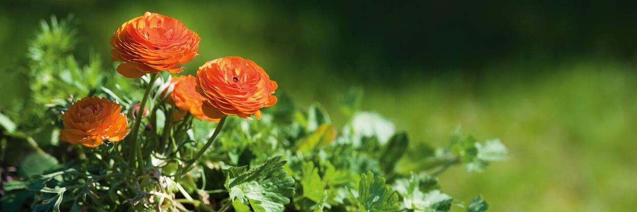 Sommerblühende Zwiebelblumen pflanzen