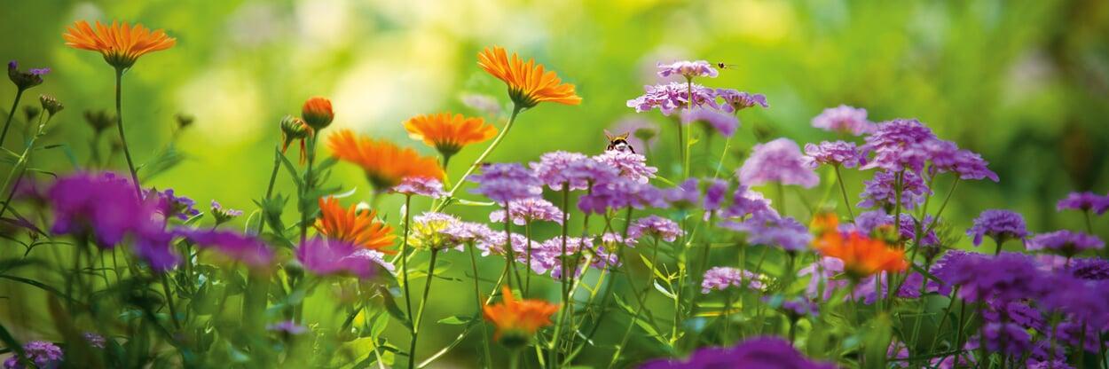 Sommerblumen im Freiland aussäen