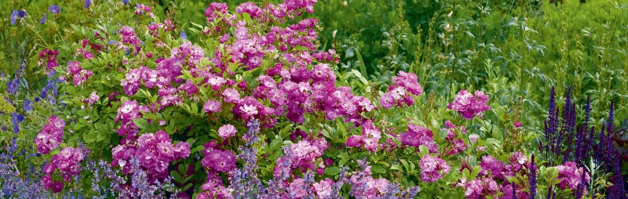 Stauden und Rosen schneiden, um weitere Blüten anzuregen