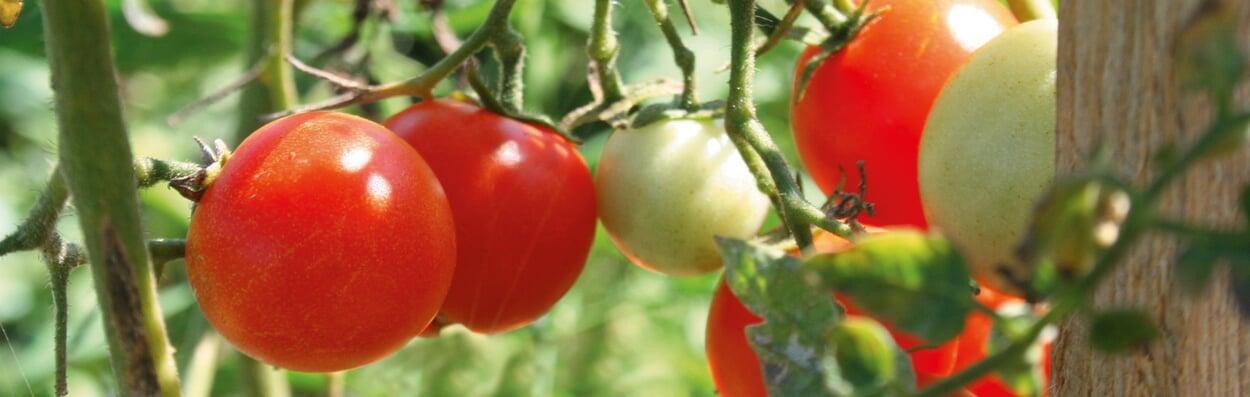 Tomatensamen ernten