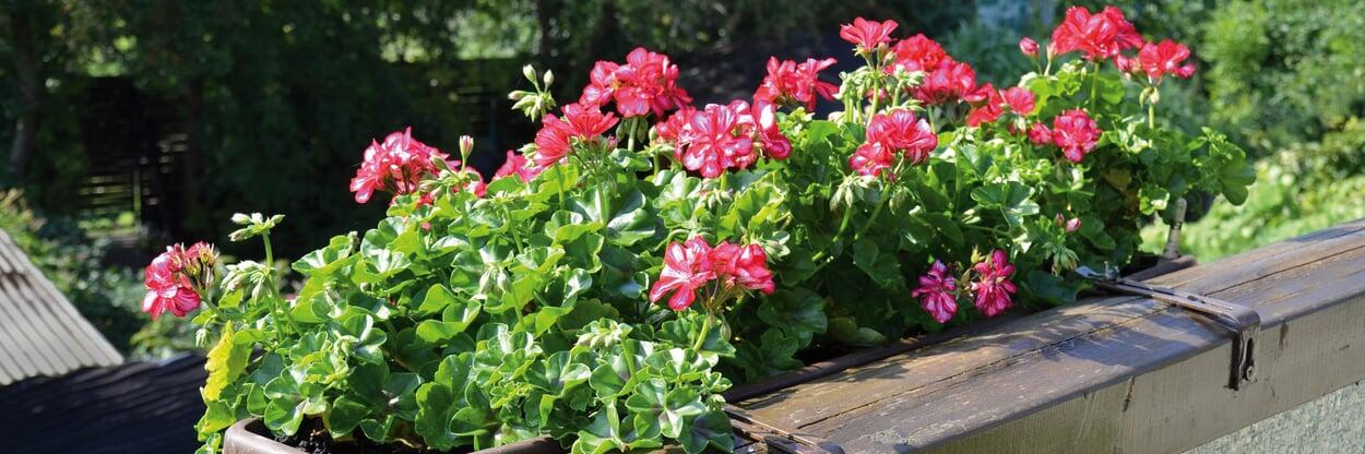 Überwinterte Balkonpflanzen pflegen