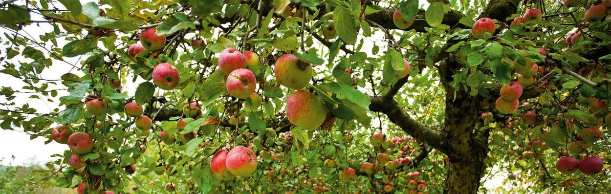 Überzählige Früchte bei Stein- und Kernobst entfernen
