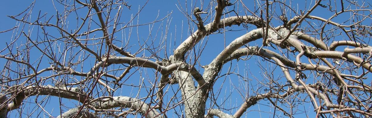 Winterschnitt von Obstbäumen