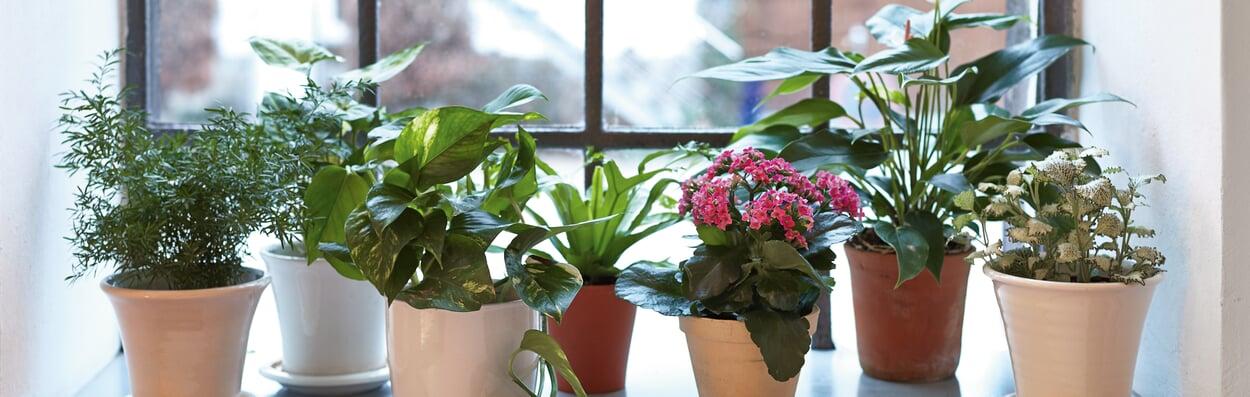 Zimmerpflanzen zurückschneiden und über Stecklinge vermehren