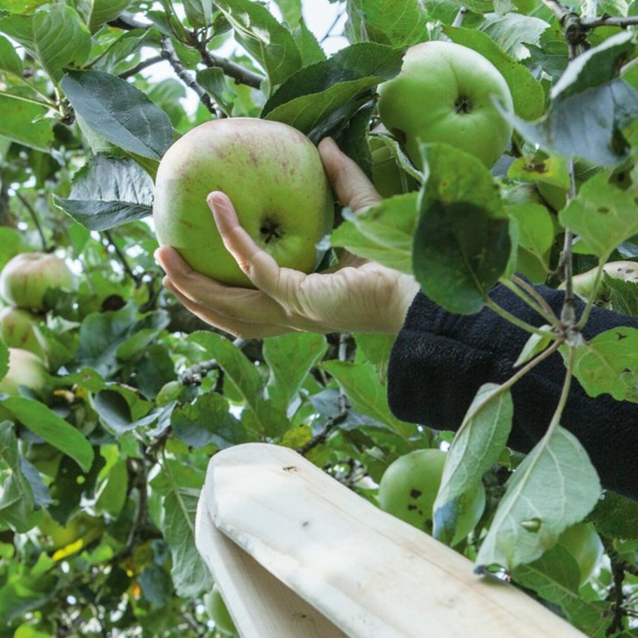 Äpfel mit einer drehenden Bewegung der Hand pflücken