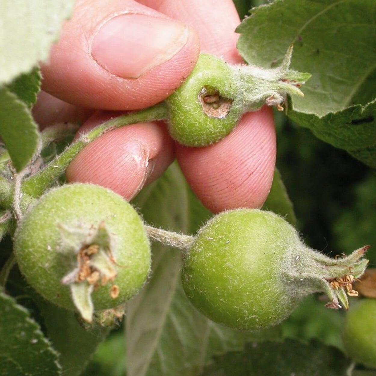 Beim Ausdünnen von Aprikosen gleichzeitig auch alle schadhaften Früchte entfernen