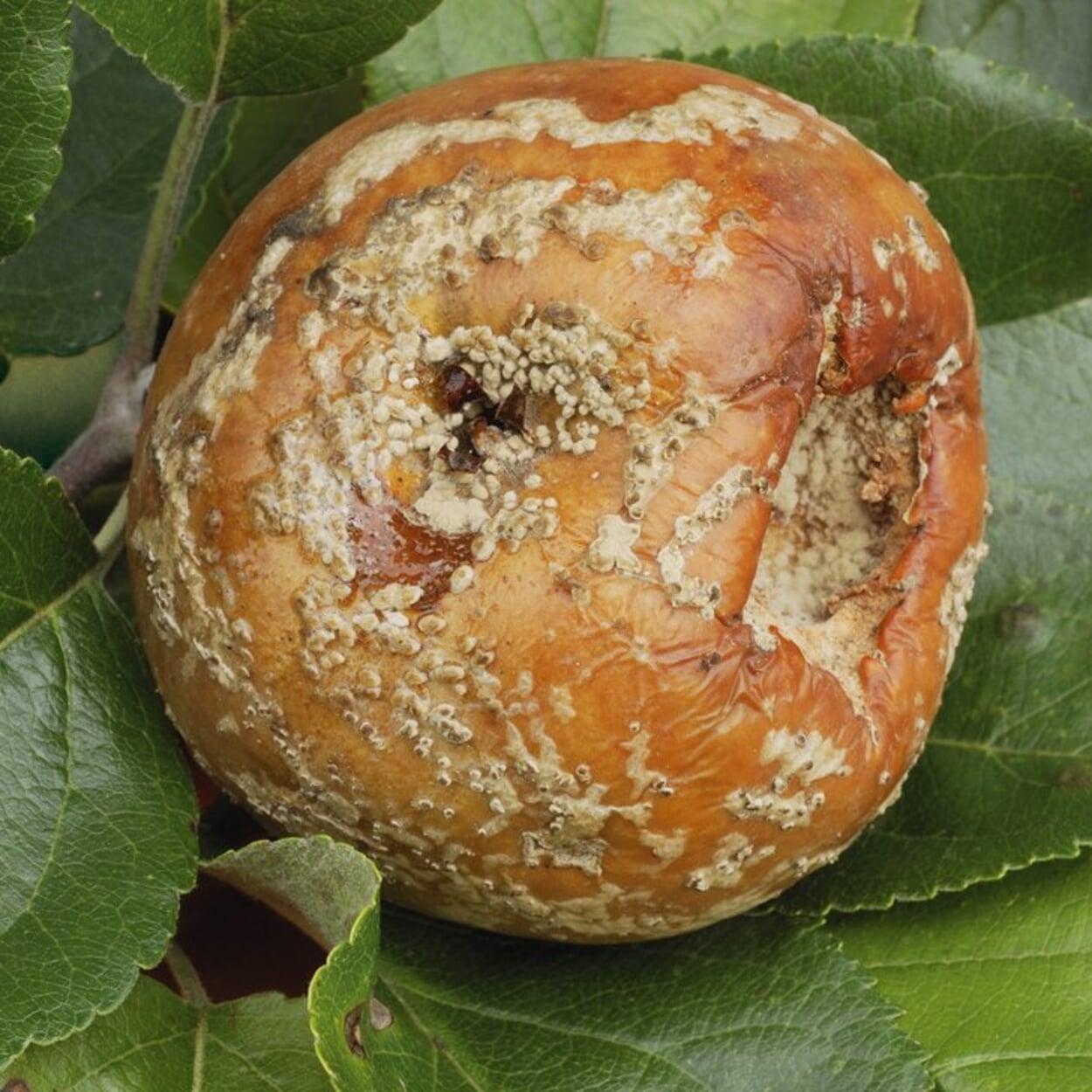 Apfel mit Fruchtfäule