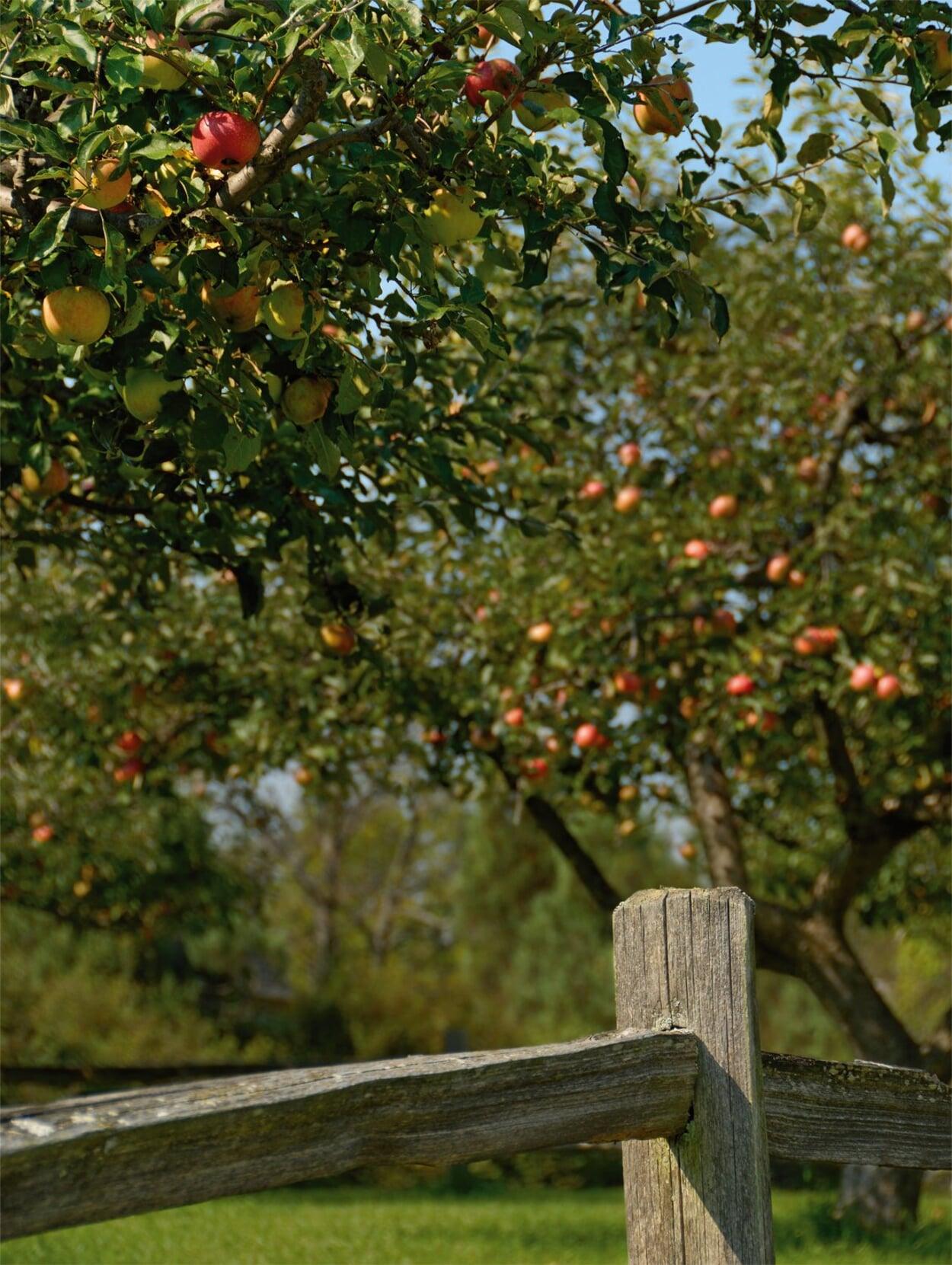 Bei der Pflanzung großwerdender Obstbäume den Abstand zur Grundstücksgrenze beachten
