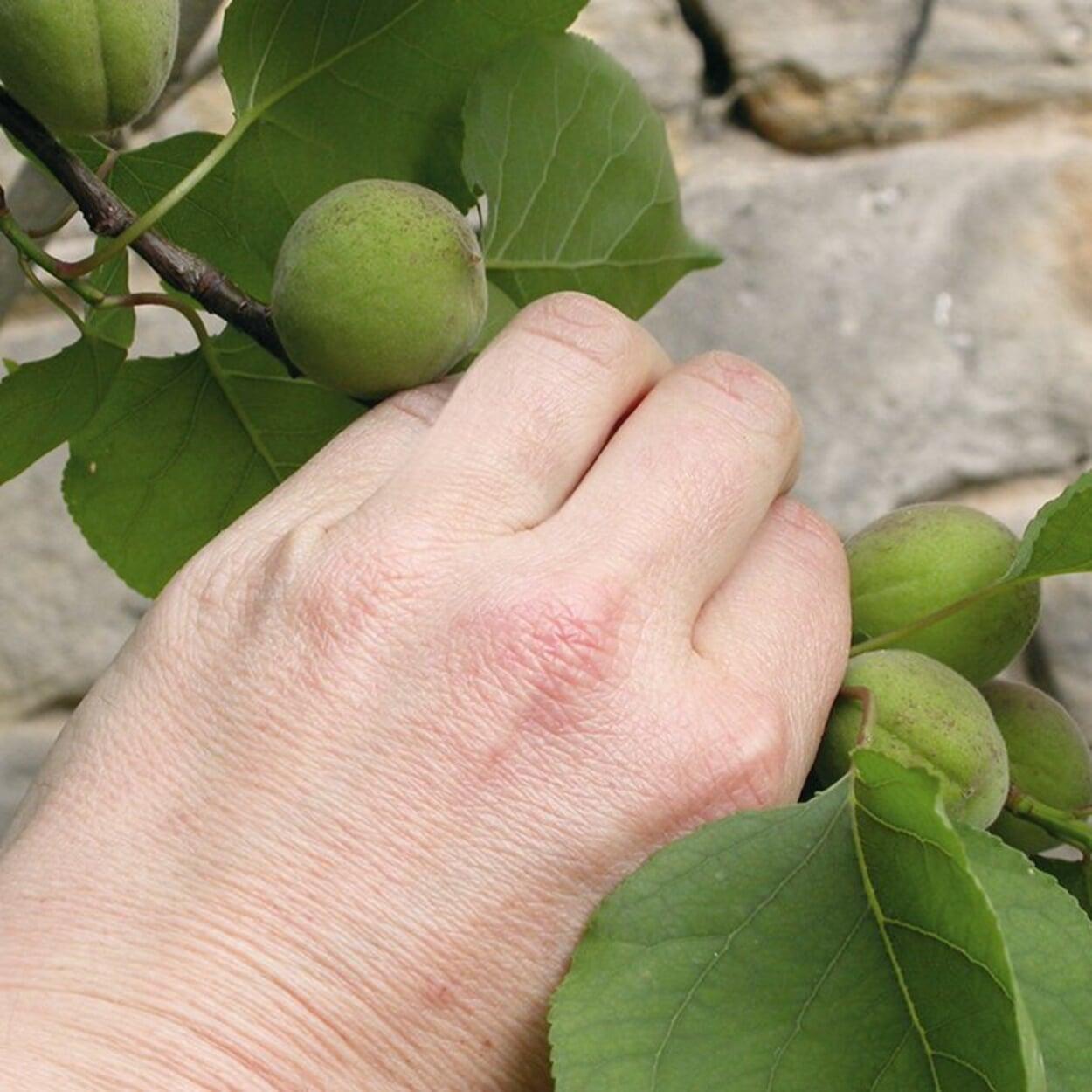 Aprikosen ausdünnen