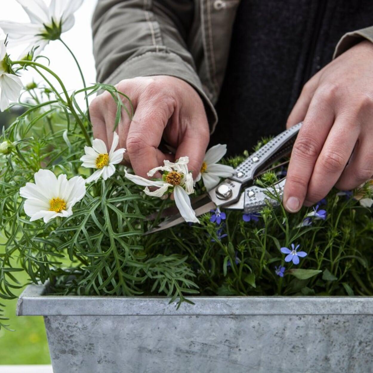 Blühende Pflanzen ausputzen