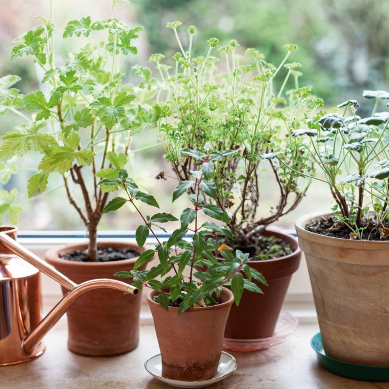 Pflanzen, die hell überwintern, gelegentlich gießen