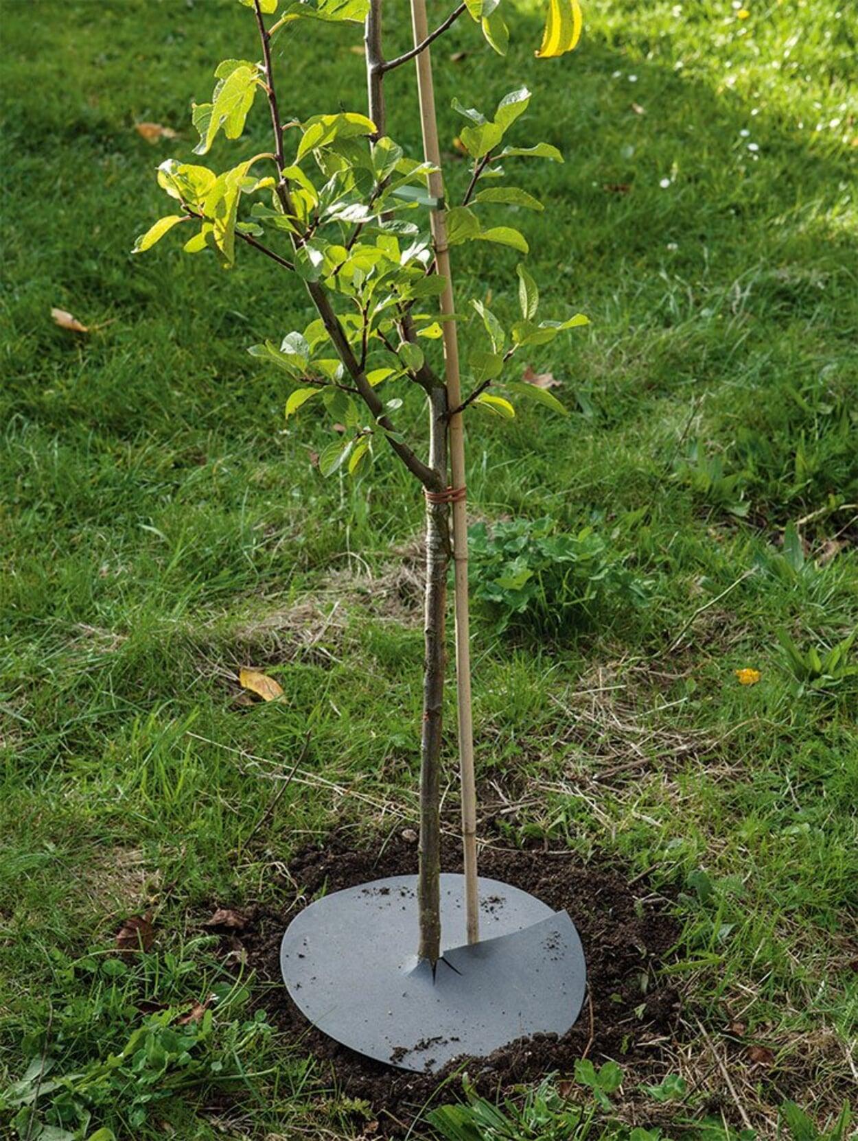 Um das Anwachsen zu fördern, die Baumscheibe abdecken
