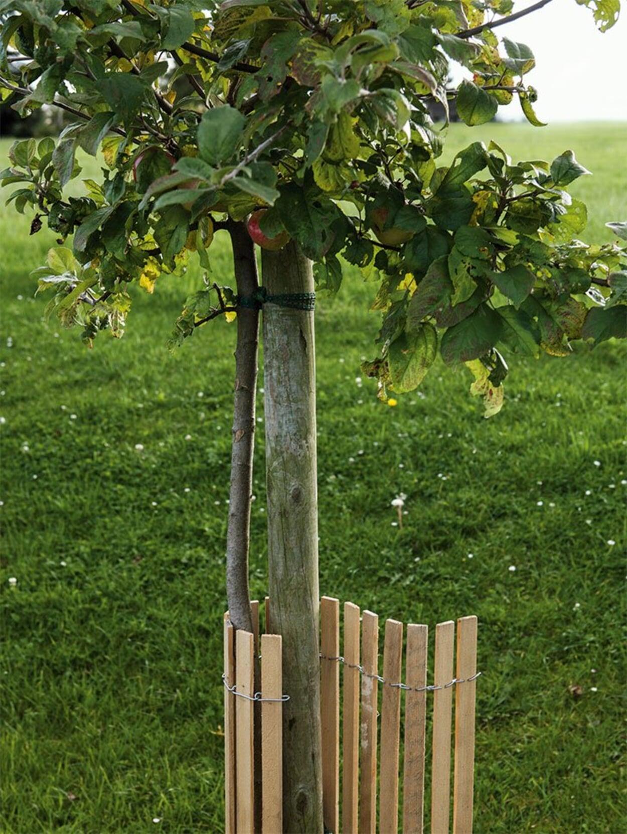 Vor allem in Ortsrandlagen den Baumstamm vor Wildverbiss schützen.