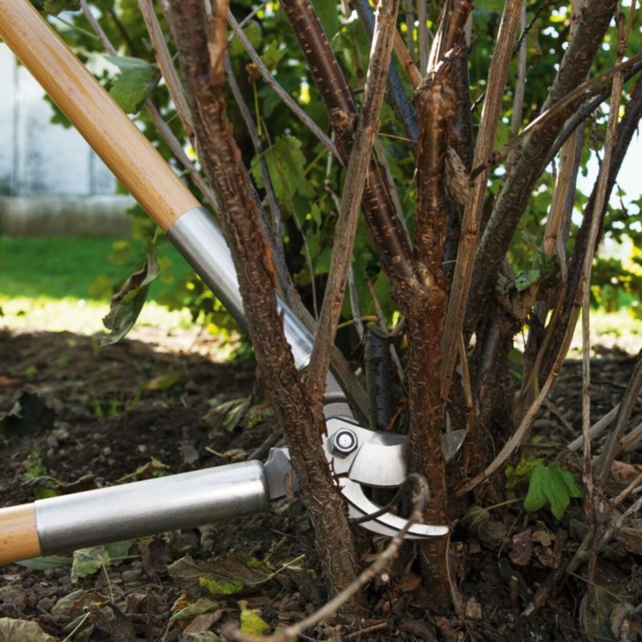 Ältere Triebe bei Johannisbeeren nach der Ernte bodennah entfernen